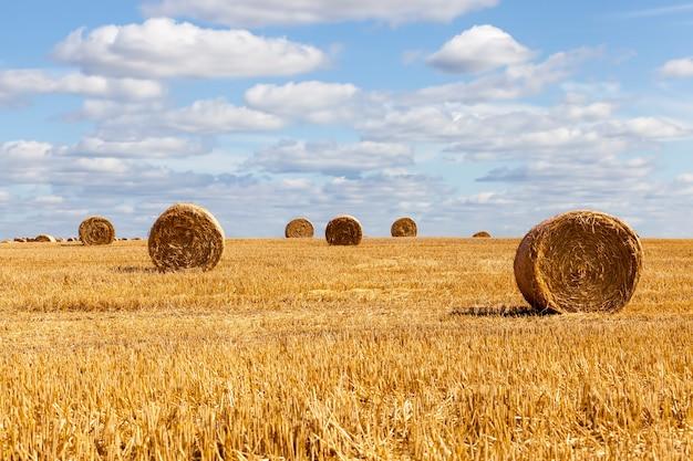 Stoppels van rogge op een landelijk veld