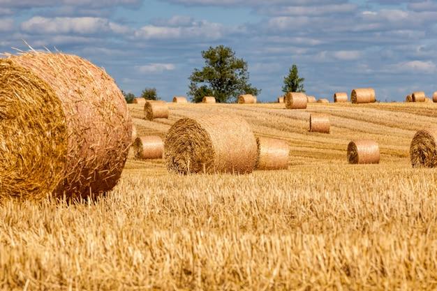 Stoppels van tarwe op een landelijk veld