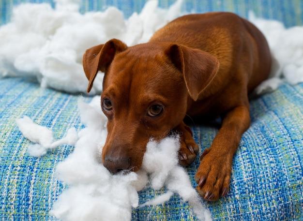 Stoute speelse puppyhond na het bijten op een kussen