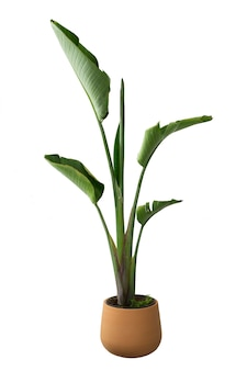 Strelitzia augusta in pot geïsoleerd op wit
