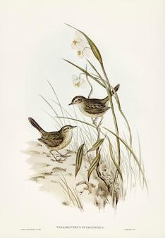 Striated reed lark (alamanthus fuliginosus) geïllustreerd door elizabeth gould