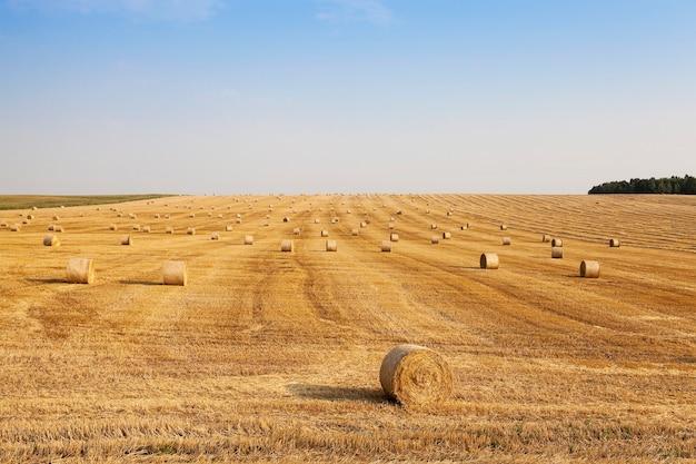 Stro na de oogst gemaaid stro dat overblijft na het oogsten van tarwe, close-up. onscherp
