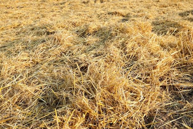 Stro overgebleven na het oogsten van tarwe close-up kleine scherptediepte defocus