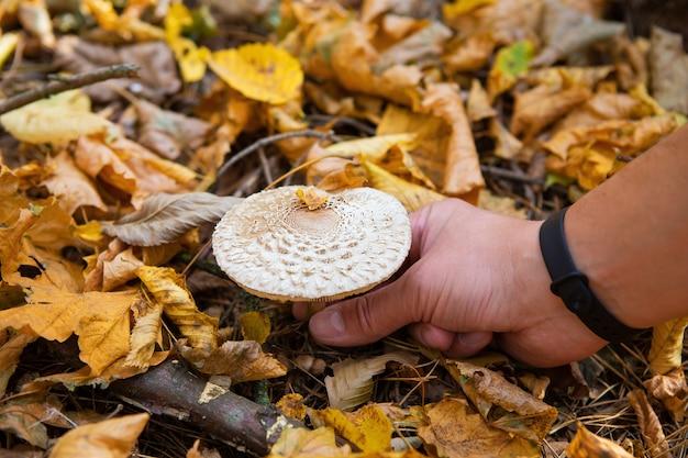 Strochampignons zien eruit als een paraplu. gouden herfst. een man snijdt paddestoel af.