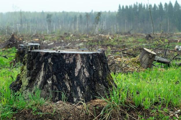 Stronken van gekapte bomen op de open plek in het bos