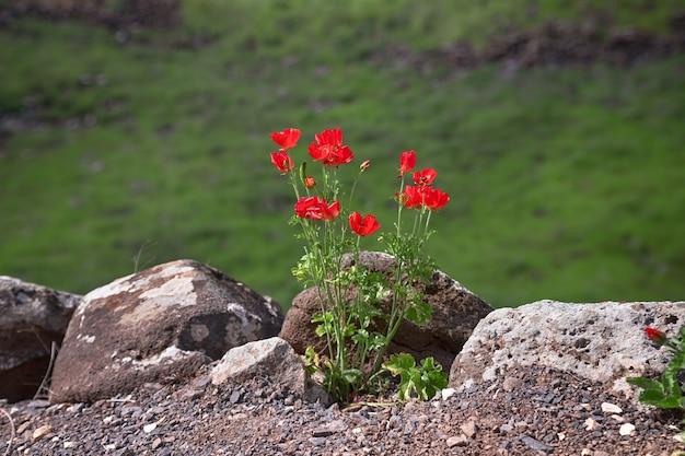 Struik met rode bloemen in het lentepark