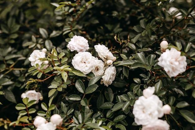 Struik met witte rozen in bloei in een tuin