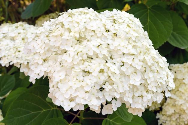 Struik met witte weelderige bloemen - hortensia. om te parkeren, tuin.