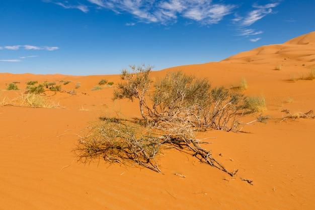Struik op het zand, sahara woestijn
