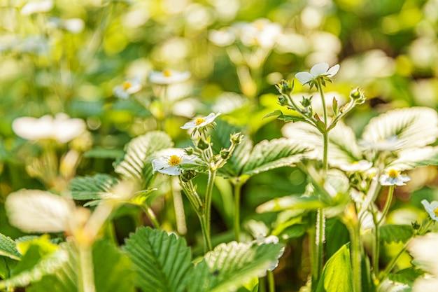 Struik van aardbei met bloem in de lente of de zomertuinbed