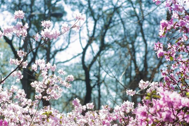 Struik van bloeiende azalea's tegen een achtergrond van bomen in een blauwe nevel.