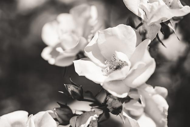 Struik van kleine witte rozen in bloei in zwart en wit