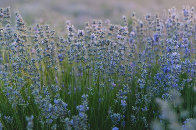 Struik van lavendel bij zonsondergang