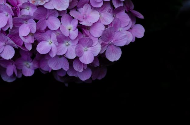 Struik van roze hydrangea hortensiabloemen op zwarte
