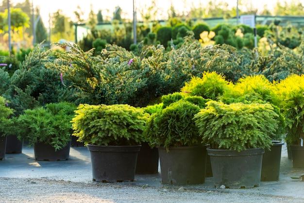 Struiken en groenblijvende planten in kuipen in de open lucht, planten in het tuincentrum