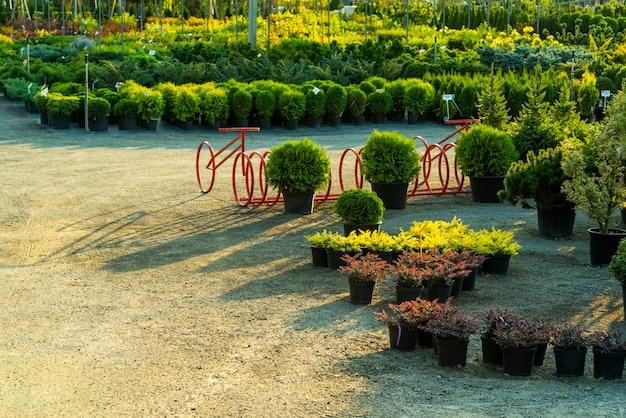 Struiken en heesters in kuipen in de open lucht in het tuincentrum te koop en groenvoorziening