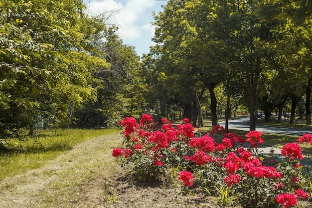 Struiken met prachtige rode rozen