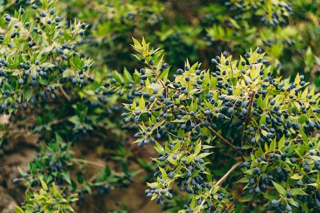 Struiken myrtus communis met veel kleine blauwe besjes tussen de bladeren.