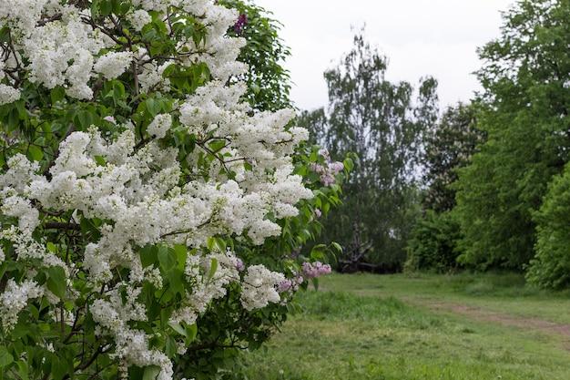 Struiken van bloeiende witte seringen. pad in park tussen de bomen.