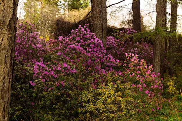 Struiken van de altai rododendron bloeien met paarse bloemen in bergbos in de lente