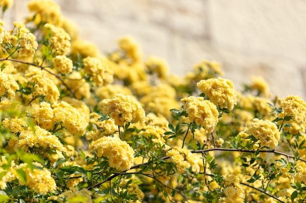 Struiken van gele bloemen op de achtergrond van een stenen muur voor de achtergrond