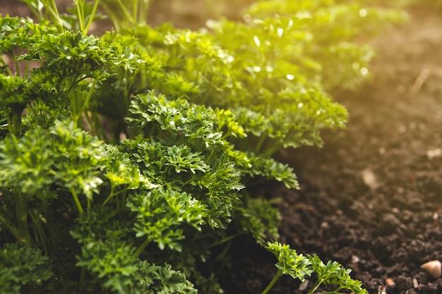 Struiken van verse sappige peterselie in de tuin. krullende peterselie.
