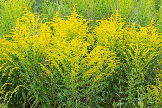 Struikgewas van gele ambrosia. allergische plant