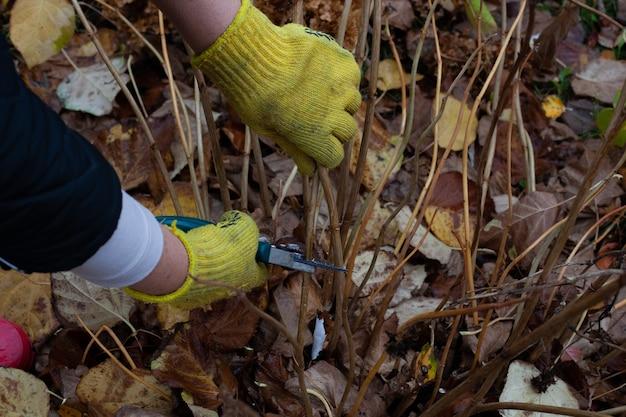 Struikhortensia wordt gesneden met snoeischaar in tuin mensenhanden in tuinhandschoenen afgesneden droge stengels en opnieuw...