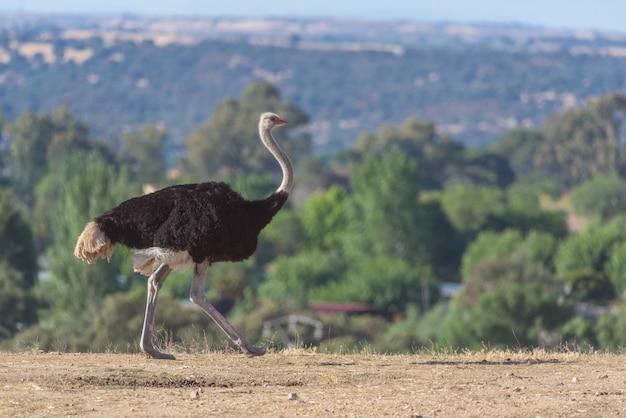 Struisvogel die op een zonnige dag loopt