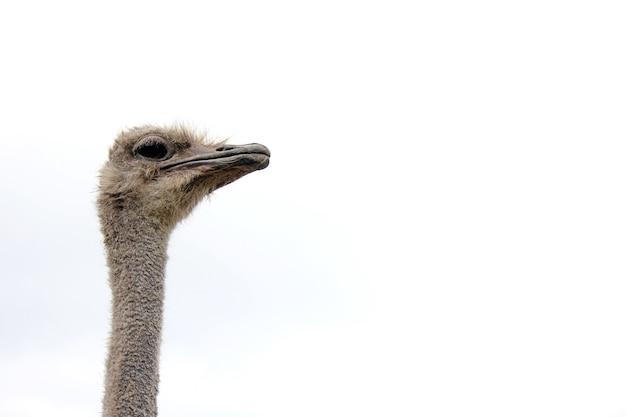 Struisvogel hoofd geïsoleerd close-up