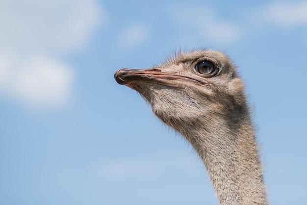 Struisvogel hoofd portret close-up dierentuin buiten in een zomerdag