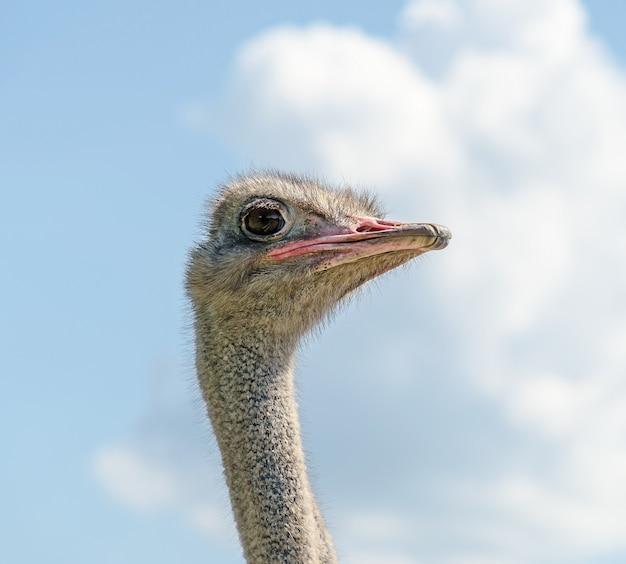 Struisvogel mannelijk hoofd