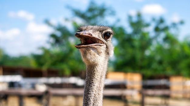 Struisvogel met geopende mond in dierentuin