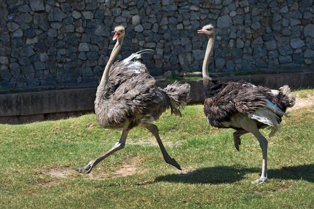 Struisvogel rent in de natuur van de dierentuin.