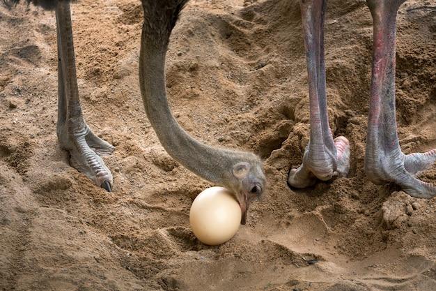 Struisvogel zorgt voor zijn eieren.