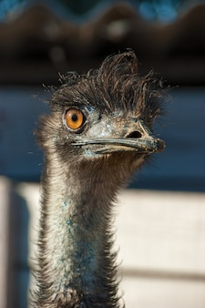 Struisvogelclose-up. gezicht van een struisvogelvogel van dichtbij en persoonlijk.