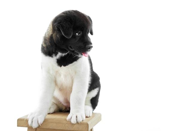 Studio close-up van een klein amerikaans akita puppy