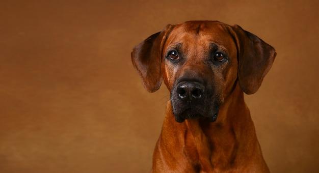Studio die van een rhodesian ridgeback-hond is ontsproten op bruine achtergrond