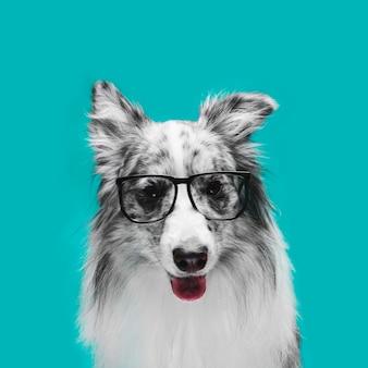 Studio die van leuke border collie-hond is ontsproten