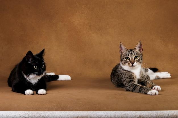 Studio die van twee katten is ontsproten die op bruine achtergrond zitten