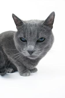 Studio portret van een mooie grijze kat geïsoleerd op wit
