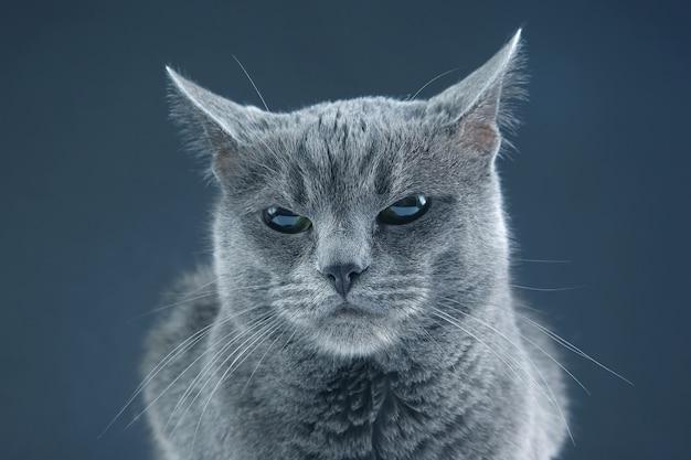 Studio portret van een mooie grijze kat