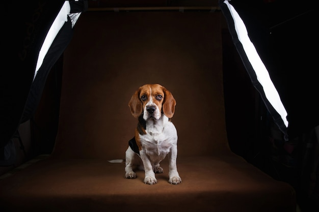 Studio shot van beagle hond staande op bruin