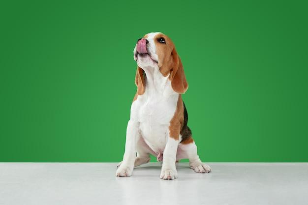 Studio shot van beagle puppy op groene studio achtergrond