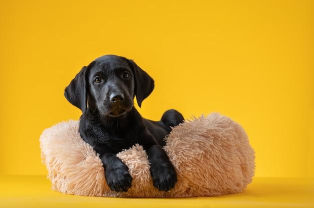 Studio shot van schattige kleine zwarte labrador retriever pup liggend in haar harige bed. over gele achtergrond.