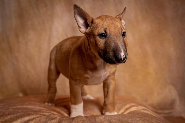 Studio van een staand bruin miniatuur bull terrier-puppy tegen een bruine achtergrond