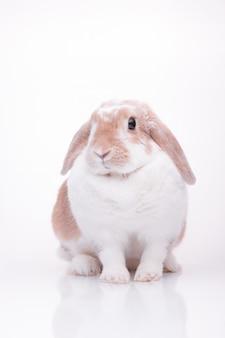 Studiofoto's van een rood konijntje