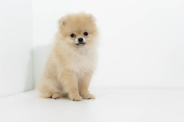 Studioportret van de hond pomeranian