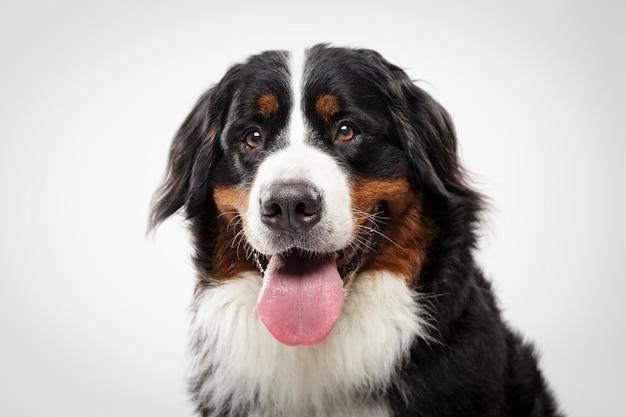 Studioportret van een expressieve zwarte berner sennenhond tegen een witte achtergrond