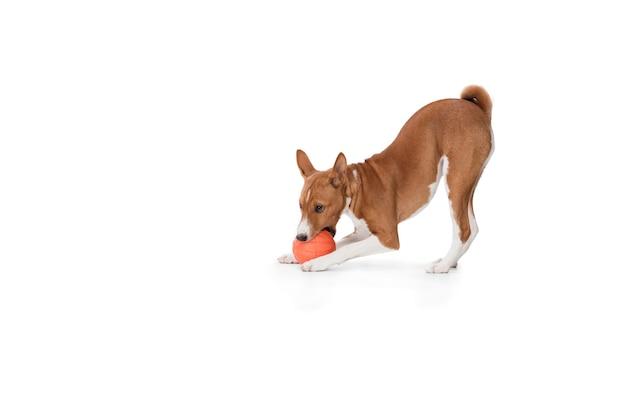 Studioschot van basenji-hond die op witte studioachtergrond wordt geïsoleerd